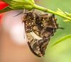 _DSC1385-52 (SteveKenilworth2014) Tags: butterfly bug fly macro closeup nikon d800e tameron venus 60mm 11 21