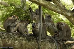 41246 Long-tailed macaque (Macaca fascicularis) females with babies, Kuala Selangor Nature Park, Selangor, Malaysia. IUCN=Least Concern. (K Fletcher & D Baylis) Tags: wildlife animal fauna mammal baby primate monkey cercopithecidae macaque longtailedmacaque crabeatingmacaque macacafascicularis leastconcern kualaselangornaturepark selangor malaysia asia april2018