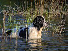 IMG_5253 (Jacek Klimczyk) Tags: jklimczykyahoocom jacek klimczyk canon canon60d poland polska sky field black beautiful water lake river grass wood park dog animal swimming