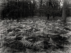 bw forest (AngyDS) Tags: forest woods fern nature trees plants blackandwhite bnw bw monochrome wald farn natur schwarzweis