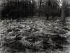 bw forest (FotoTrenz NRW) Tags: forest woods fern nature trees plants blackandwhite bnw bw monochrome wald farn natur schwarzweis