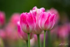 Delicious (Sukmayadi) Tags: tulip spring flower pink natur natural garden longwood