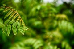 Finally, Green (flashfix) Tags: may102018 2018inphotos ottawa ontario canada nikond7100 40mm nikon flashfix flashfixphotography macro bokeh nature green plant bush leaves leaf rain hbw
