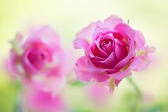 rose 4421 (junjiaoyama) Tags: japan flower rose pink bokeh spring macro