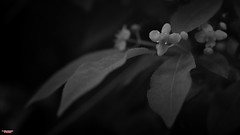 Rites Of Spring (MBates Foto) Tags: availablelight blackandwhite bokeh botanicals closeup daylight existinglight flowers leaf macro monochrome nikkorlens nikon nikond810 nikonfx outdoors plants spokane washington unitedstates 99203
