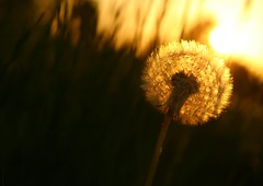 Mælkebøtte-modlys (joditiger06) Tags: dandelion spring evening red sky reddish grass