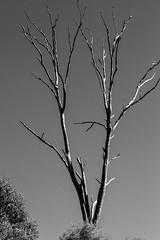 Dead (obLiterated) Tags: trees runcorn stark bw blackwhite eucalypt