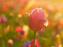 P5064072 (hans 1960) Tags: tulpe tulips bokeh flower blumen licht light blossom nature natur outdoor soft farben colour pink gras