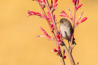 Juvenile Verdin Perched On Red Yucca Flowers