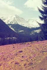 27 (wichrzu_wichrzu) Tags: mountains tatry zakopane crocuses landscapes poland spring