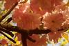 Transparences - Transparencies (p.franche visit(ez) my - mes expositions) Tags: fleur flower macro nature bokeh superbokek sony sonyalpha65 dxo photolab bruxelles brussel brussels belgium belgique belgïe europe pfranche pascalfranche schaerbeek schaarbeek yourbestoftoday parcjosaphat josaphatpark sakura transparence rose transparency light sun lumière couleur color spring tree baum 樹 trae árbol δέντρο fa albero ツリー treet drzewo дерево ต้นไม้ soleil printemps