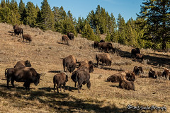 Bison, Buffalo & Tatanka | Yellowstone National Park | Wyoming (M.J. Scanlon) Tags: buffalo 20d animal beauty bison camera canon capture digital horns huge image mjscanlon mjscanlonphotography majestic mojo nps nationalpark outdoor outdoors outside park photo photog photograph photographer photography picture powerful scanlon scene scenic tatanka thundering thunderingherd wild wilderness wow wyoming yellowstone yellowstonenationalpark ©mjscanlon ©mjscanlonphotography