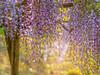 Wisteria (dayonkaede) Tags: wisteria landscape nature branch olympus em1markii m40150mm f28 mc14