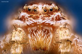 Crab Spider Portrait - xysticus cristatus