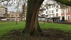 Horse Chestnut (Aesculus hippocastanum) - Grey squirrel on tree - April 2018 (Exeter Trees UK) Tags: horse chestnut aesculus hippocastanum grey squirrel tree april 2018