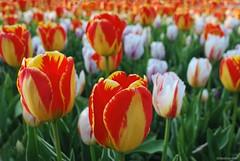 The gathering.... (Joe Hengel) Tags: thegathering doverde dover tulips spring springtime springflowers springday flower flowers delaware de capitalgrounds 7dwf