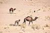 Mother and Baby Camel (meg21210) Tags: camels camel desert sahara mother baby dromedaire dromedaries morocco animals herd tuareg