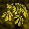 Dancing Green (L I C H T B I L D E R) Tags: frühling spring blätter leaves tree baum kastanie germany cologne köln stadtwald natur nature green grün chestnut