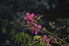 flowers in the rain / Flores en la lluvia (chavarriamatias) Tags: sigma flowers flower flor flores pink green rosa verde rain lluvia cloudy grey gris nublado llovizna nature naturaleza plant planta nikon imnikon 300mm