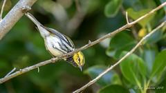 Black-throated Green Warbler (Bob Gunderson) Tags: birds blackthroatedgreenwarbler california goldengatepark northerncalifornia sanfrancisco setophagavirens stowlake warblers woodwarblers