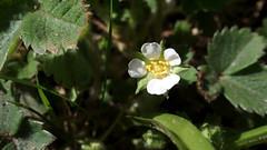 Barren Strawberry (Nick:Wood) Tags: nature wildflower environment baddesleyclinton warwickshire flower barrenstrawberry potentillasterilis leaves