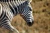 IMG_2905 (SusanKurilla) Tags: wildlife africa kenya tanzania wild safari adventure zebra