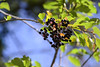 Wild Berries (Vegan Butterfly) Tags: outside outdoor whitemud ravine nature reserve wild berries plants fruit branch plant tree bush leaves summer