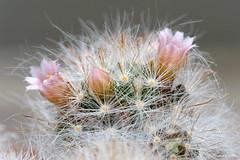 Focus 008 (daniellelallemand) Tags: mammillaria focusstacking cactus lumixg9 france