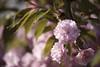 Pink fluff balls.... (Joe Hengel) Tags: pinkfluffballs pink pinkflowers cherrytree spring springtime springflowers springday tree milton miltonde delaware de lowerslowerdelaware lsd