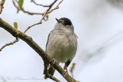 Blackcap (Dougie Edmond) Tags: ayr scotland unitedkingdom gb bird birds nature wildlife blackcap male canon spring