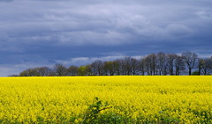 The ominous sky. (pstone646) Tags: sky storm weather nature trees field landscape yellow flowers grey kent clouds