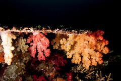 2018 fiji, 11 april, the ledge, soft corals under a table coral