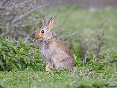 Wild Rabbit (Corine Bliek) Tags: duinen dunes nature natuur wildlife wild brown rabbits mammal young small baby knaagdieren rodents