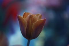 (mousielim) Tags: cairo tulip colours bokeh nature portrait
