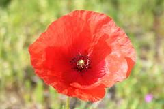 poppy (ryorii) Tags: poppy papavero wild fiore fiori fioreselvatico natura nature naturereserve riservanaturale primavera spring canon oasibassone