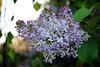 Fliederzeit hat begonnen (ingrid eulenfan) Tags: frühling spring baum flieder blüten tree lilac bloom blühen 7dwf fauna
