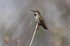 Anna's Hummingbird, Female (Edmonton Ken) Tags: trochilidae annas hummingbird calypte bird feather gorget iridescent female perch green chin beak beautiful california metalic tiny small
