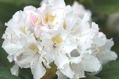 Fleurs au vent... (LOLODUTERRIER) Tags: fleur printemps été rose rouge parfum odeur blanc lilas iris jardin aubépine tulipe
