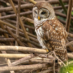 Magnolia Barred Owl (KeithWMiller) Tags: owl barredowl barred