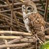 Magnolia Barred Owl (KeithWMiller) Tags: owl barredowl barred