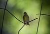 Chamariz (Carlos Santos - Alapraia) Tags: chamariz ngc ourplanet animalplanet canon nature natureza wonderfulworld highqualityanimals unlimitedphotos fantasticnature birdwatcher ave bird pássaro
