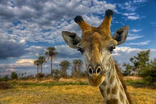 Giraffe's eye view