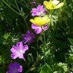 Au jardin, géranium sanguin et bouton d'or, Bosdarros, Béarn, Pyrénées Atlantiques, Aquitaine, France. thumbnail