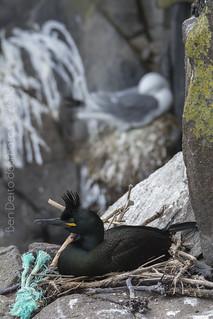 Corvo mariño cristado (Phalacrocorax aristotelis) _BDF1302 _BDF1327