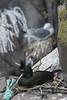 Corvo mariño cristado (Phalacrocorax aristotelis) _BDF1302 _BDF1327 (Ben Deito dasPhotos (Xan Vizoso)) Tags: birdwatching paxareando aves paxaros pássaros pájaros ocells aus hegaztiak birds oiseaux volaille fåglar escócia escocia scotland seabirds water waterbirds corvomariñocristado phalacrocoraxaristotelis