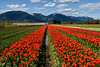 Tulips of the Valley Festival (SonjaPetersonPh♡tography) Tags: chilliwack fraservalley tulips tulipfestival tulipsofthevalleyfestival tulipsofthevalley valley scenic scenery outdoors flowers colours landscape bc britishcolumbia canada nikon nikond5300 beautifulflowers beauty