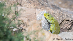 Timon lepidus Pyrénées Orientales 7178 (Swing Olive) Tags: timon lepidus lézard ocellé reptiles reptile france europe mâle male