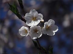 Deep blue (Genie W.) Tags: highpark cherryblossom sakura toronto spring canonpowershotsx40hs