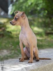 Le profil d'Orféo. (Philippe Bélaz) Tags: orféo pragois ratierdeprague animal animaux animauxdecompagnie chien famille portraitsanimalier printemps