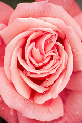 Mothers Day Rose 3-0 F LR 5-6-18 J502 (sunspotimages) Tags: flowers flower roses rose pink pinkflower pinkrose pinkflowers pinkroses nature